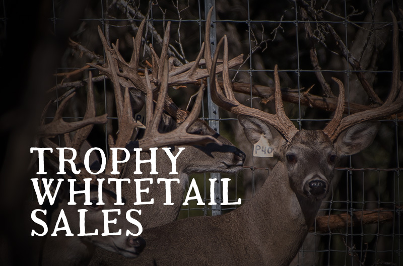 Whitetail Sales